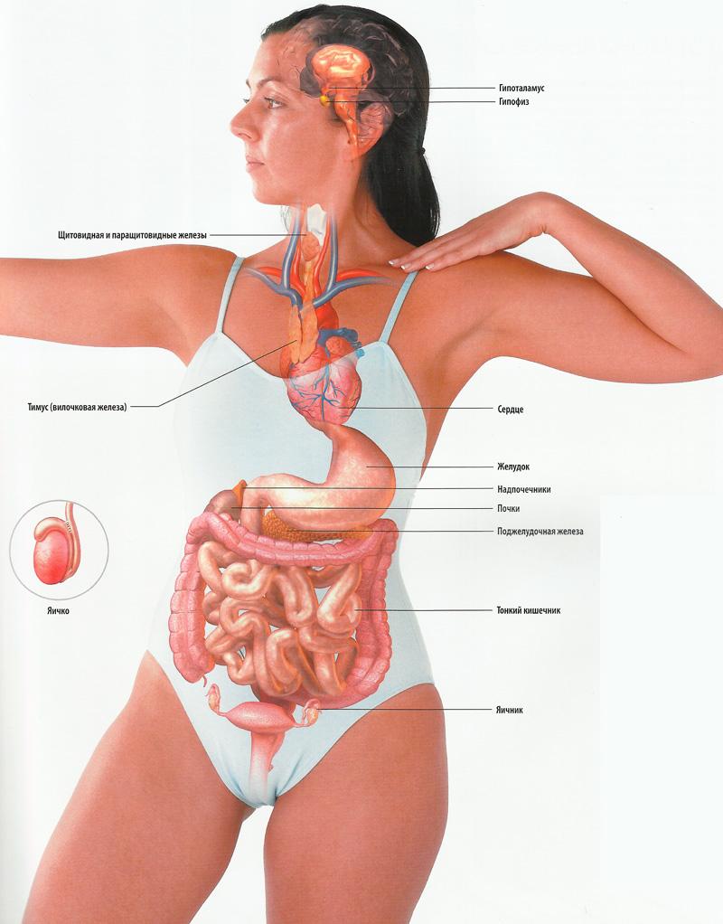 Внутреннее строение женского организма в картинках